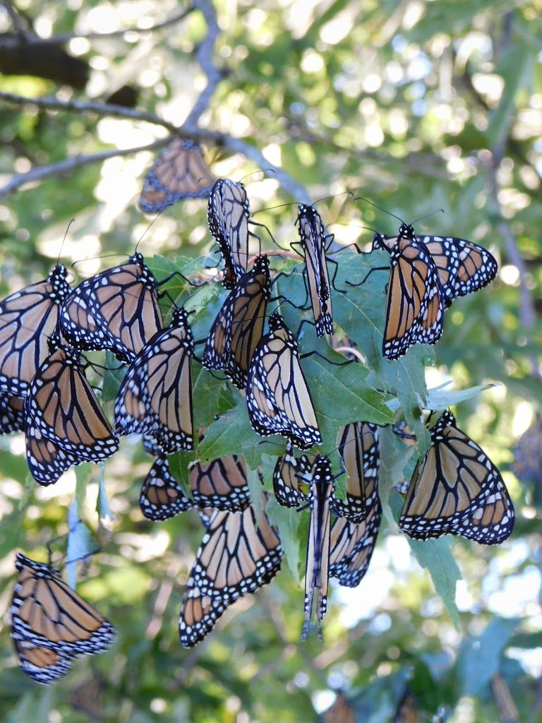 The Monarch Ultra Pt. 3 –  A Kaleidoscope of Butterflies