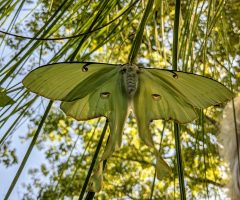 Fall in Love with Luna Moths and Other Ways to Save the Planet