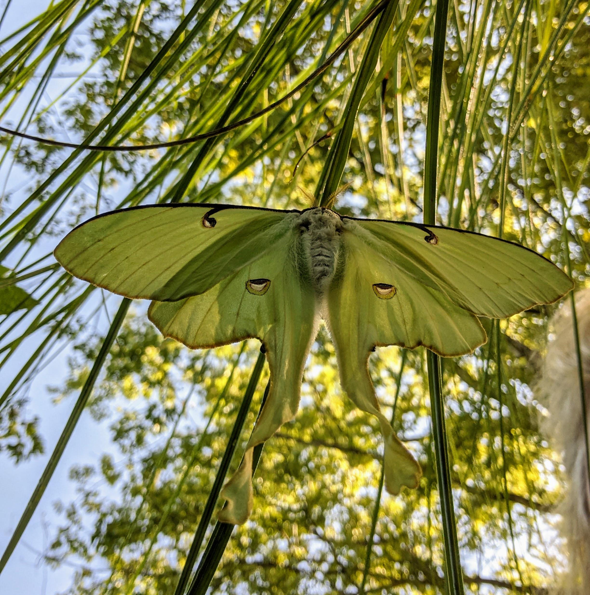 Pregnant luna moth on miscanthus grass