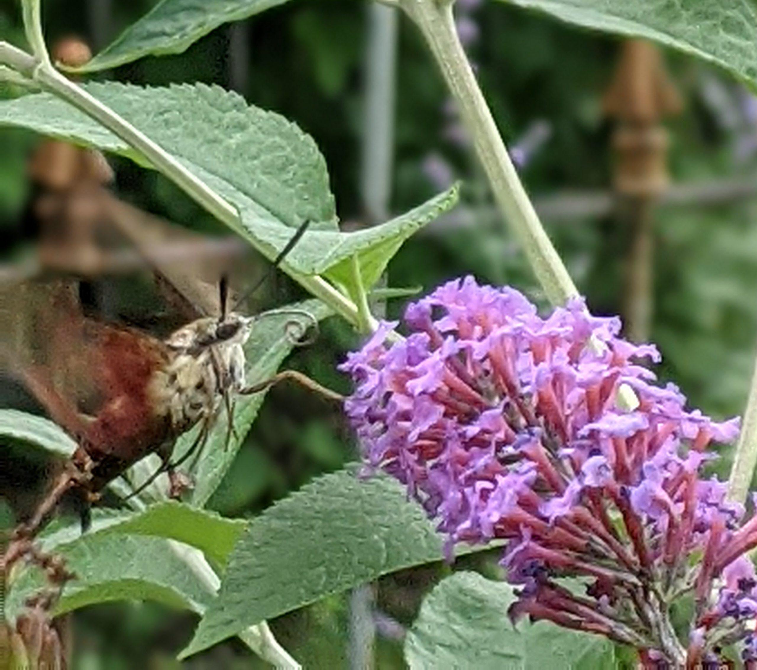hawkmoth on butterfly bush